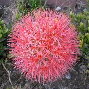紅花mandala